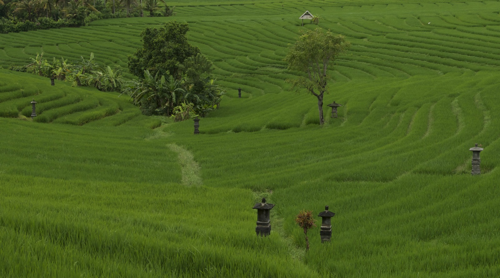Your own romantic Bali rice fields tour, complete with Balinese farmers, cocoa trees, nonchalant bats and French hikers