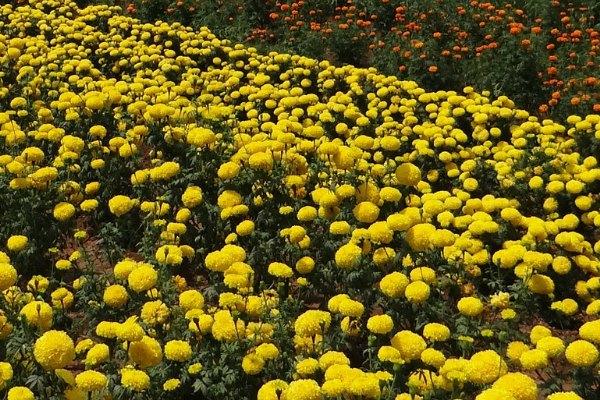 Marigolds_field_bali