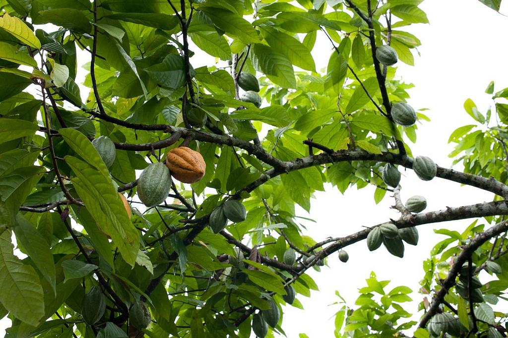 Cacao fruits, Bali | © Dennis Tang/Flickr